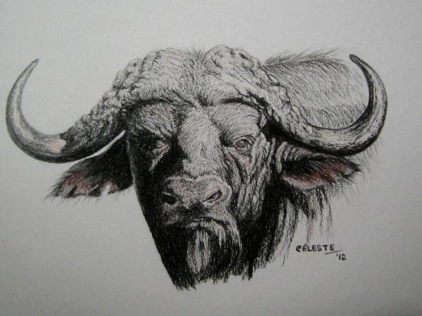 ... one of the most feared animals in africa this moody male is sketched