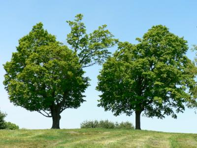 two trees summer