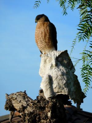 Hawk in our backyard