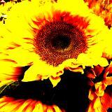 FLAMING~SUN~FLOWER