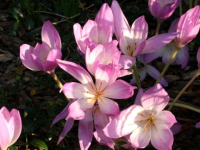 Light Pink Flowers