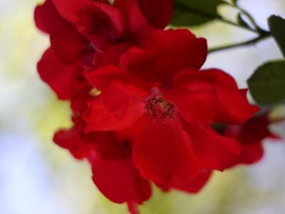 Red Rose in Vienna