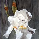 Arlene's White Iris