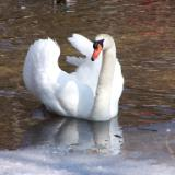 Swan of South Pond
