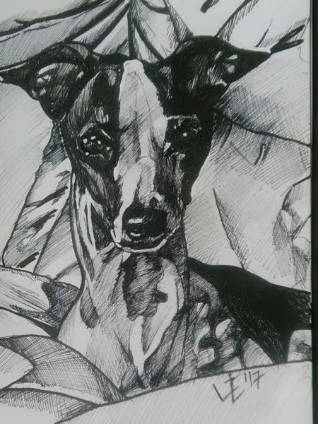 Moxie the Italian Greyhound