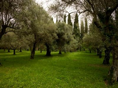 Olive and cypress grove