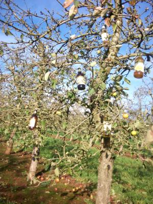 Cider tree