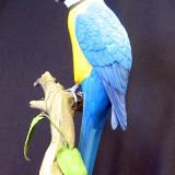 Third size Blue and Gold Macaw