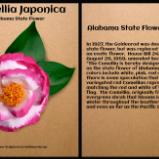 Alabama State Flower, The Camellia