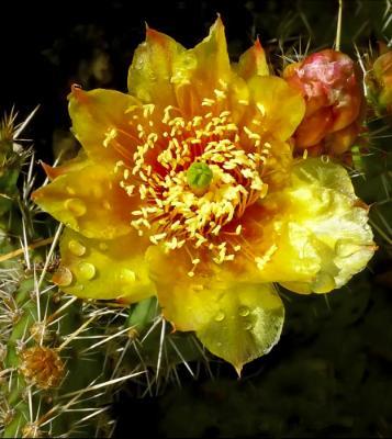 Best Yellow Cactus