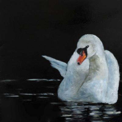 Shy Swan