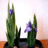 Ikebana, photo: from Wikipedia