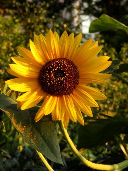 Sunflower on the Promenade