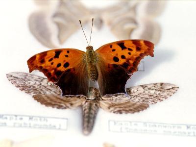Cercropia Moth