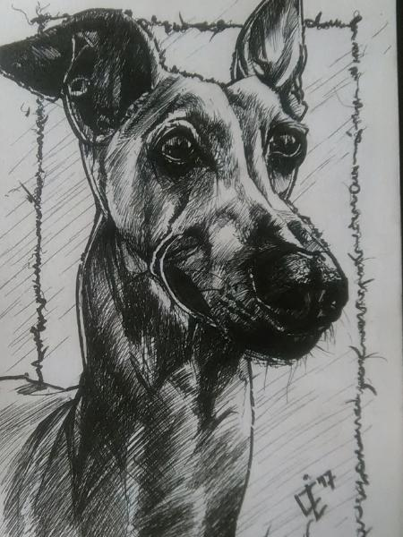 Bullet the Italian Greyhound