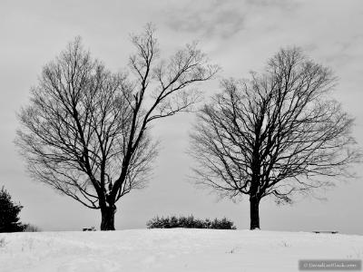 two trees winter
