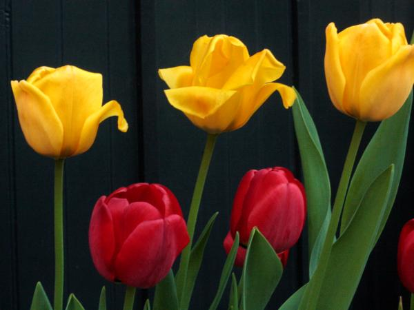 Yellow and Red Tulips # 2