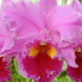 Orchids: Cattleya