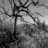 Tree, Cuyamaca Mountains I