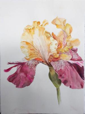 Yellow and Magenta Iris