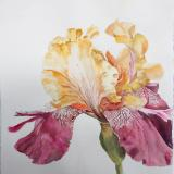 Yellow and Magenta Iris