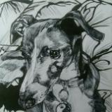 Molly the Italian Greyhound
