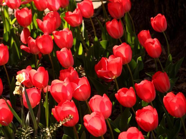 Brooklyn Tulips