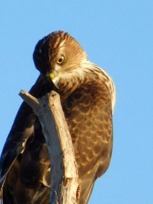"""Hawk"""