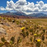 Prickly Pear Flower Hillside and La Sal Mountains