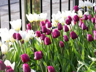 Tulips in Brooklyn