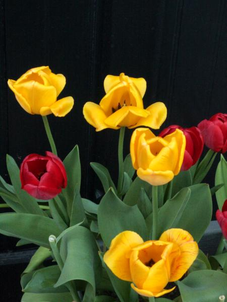 Yellow and Red Tulips - #1