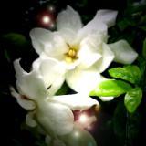 Gardenia Dew Faeries