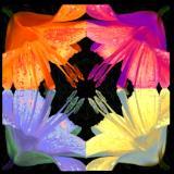 Lillies Collide