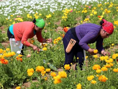 Workers in the Flower Fields