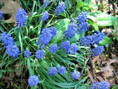 Blue Bunch