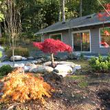 Japanese Maples outside studio