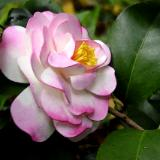 Flower Sculptures Variegated Pink Camellia pin