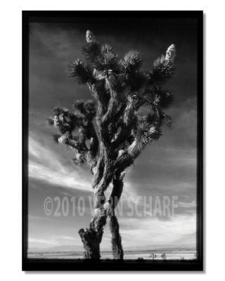 JOSHUA TREE 1973