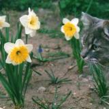 Cat Among the Daffodils