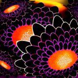 Blackflower