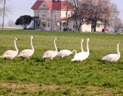 Swan Flock
