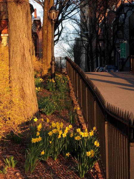 Daffodils on the Promenade