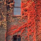 Portland Ivy #2
