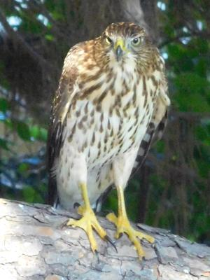 Hawk in our yard