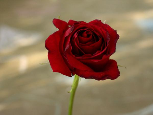 Perfect Red Rose