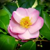 Flower Sculptures Camellia Pink Plantation Pin
