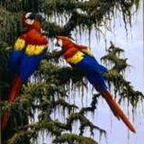 Afternoon Chat: Scarlett Macaws
