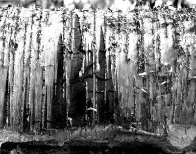 Study in Silver: Birch Bark